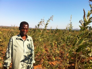 Forbes in his pigeonpea field