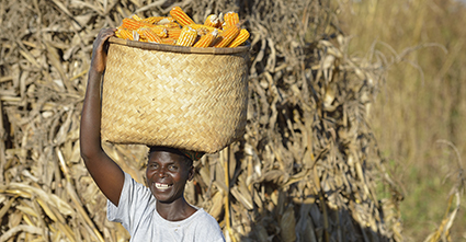 Person carrying basket of corn on their head