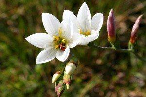 Avondbloem Flower
